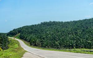Kommerzielle Ölpalm-Plantage, Sabah, Borneo, Malaysia