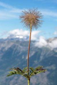 Haarschopfartiger Fruchtstand der Alpen-Kuhschelle (Pulsatilla alpina), Hahnenfußgewächse (Ranunculaceae), Wallis, Schweiz