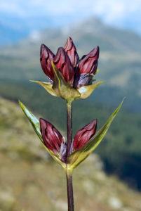 Purpur-Enzian (Gentiana purpurea), Enziangewächse (Gentianaceae), Nendaz, Wallis, Schweiz