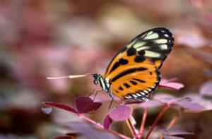 Neotropischer Schmetterling Heliconius hecale, Familie der Edelfalter (Nymphalidae), Mindo, Ecuador