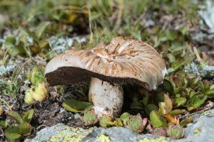 Wiesen-Champignon (Agaricus campestris) in fortgeschrittenem Reifestadium, Familie der Agaricaceae, Haute-Nendaz, Wallis, Schweiz