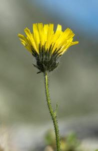 Alpine hawkweed (Hieracium alpinum), daisy family (Asteraceae), Haute-Nendaz, Switzerland