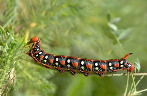 Caterpillar of the milkweed owl (Hyles euphorbiae) eats cypress spurge (Euphorbia cyparissias), Gasterntal, Switzerland