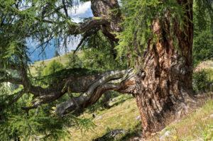 Lärchenbaum auf der Alp Balavaux, Standort der grössten und ältesten Lärchen Europas, Nendaz, Wallis, Schweiz