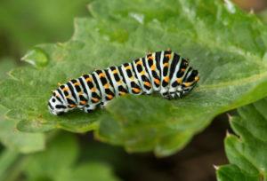 Raupe des Schwalbenschwanz Schmetterlings (Papilio machaon), Familie der Ritterfalter (Papilionidae), Gasterntal, Kandersteg, Schweiz