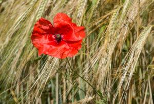Blühender roter Mohn in einem Roggenfeld, Mont-sur-Rolle, Schweiz