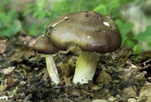 Champignons (Agaricus syn. Psalliota) aus der Familie der Agaricaceae, Schweiz
