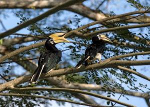 Orienthornvogel Paar (Anthracoceros albirostris), Familie der Nashornvögel (Bucerotidae), Danum Tal Schutzzone (Danum Valley Conservation Area), Sabah, Borneo, Malaysia