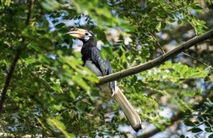 Oriental hornbill (Anthracoceros albirostris), family of hornbills (Bucerotidae), Danum Valley Conservation Area, Sabah, Borneo, Malaysia