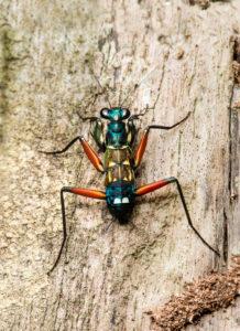 Nymphe der  Gottesanbeterinnenart Metallyticus splendidus, Metallyticidae Familie, Danum Tal Schutzzone, (Danum Valley Conservation Area,, Sabah, Borneo, Malaysia