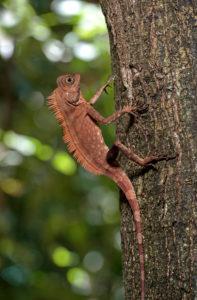 Winkelkopfagame Gonocephalus liogaster, Familie der Agamidae, Danum Tal Schutzzone (Danum Valley Conservation Area), Sabah, Borneo, Malaysia