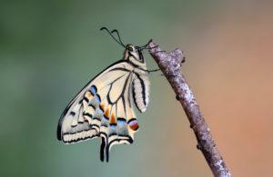 Frisch geschlüpfter Schwalbenschwanz (Papilio machaon), Schweiz