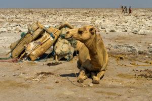 Traditioneller Abbau von Salz am Assale Salzsee. Dromedare warten auf die Beladung mit Salzplatten für den Transport zum Markt, bei Hamadela, Danakil Depression, Afar Region, Äthiopien
