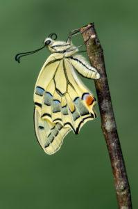 Frisch geschlüpfter Schwalbenschwanz Schmetterling (Papio machaon), Schweiz