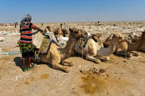 Traditioneller Abbau von Salz am Assale Salzsee. Afar Hirte belädt ein Dromedar mit Salzplatten mit einem Einzelgewicht von bis zu 7 kg, bei Hamadela, Danakil Depression, Afar Region, Äthiopien