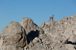 Capricorn on rocky ridge