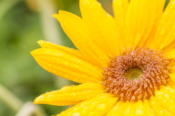 Small yellow sunflower with covered dewdrop, cutted photograph,