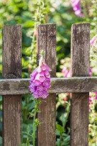Common foxglove grows through an old fence,