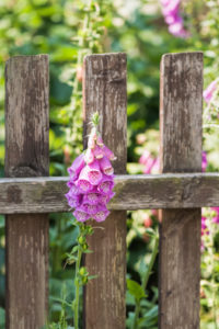 Common foxglove grows through an old fence,