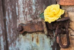 gentle yellow rose in the old lock and old door,