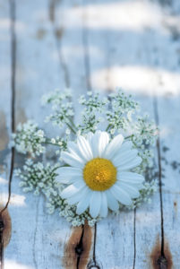 blossom of white marguerite on wood, still life