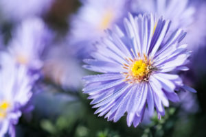 Purple Aster, Close-up