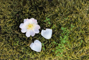 Rose blossom and heart-shaped rose leaves on green moss