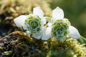 Stuffed snowdrops on Moss in backlight,
