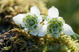 Stuffed snowdrops on Moss in backlight,