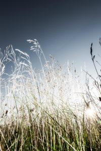 Gräser gegen den Himmel