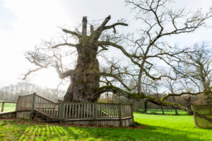 Tausendjährige Eiche in der Bretagne