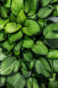 Hosta Blätter