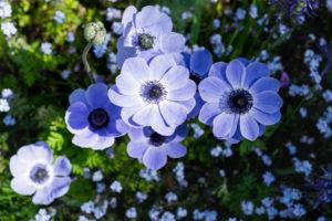 Blaue Mohnblume