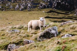 Schaf in Schottland auf einer Weide
