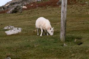 Schafe in Schottland auf einer Weide