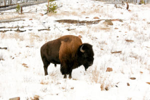 Yellowstone National Park, animals buffalo moose danger sign
