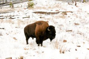 Yellowstone National Park: Büffel von Seite in Park mitten im Schnee