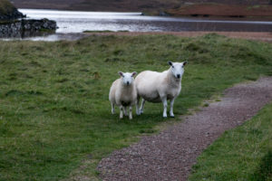 Sheep in Scotland on pasture