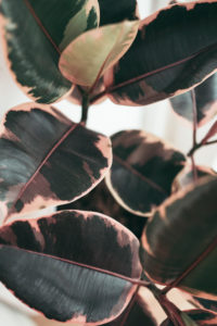 Houseplant, close-up / pink-green leaves on rubber tree