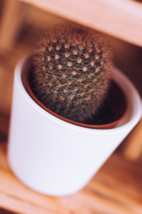 Mini cactus on a shelf / room decoration, close-up