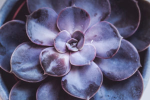 Close-up of a succulent plant / thick-leaf houseplant