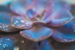 Close-up einer Sukkulente / Dickblatt, Zimmerpflanze