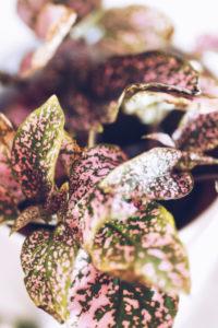 Calathea Zimmerpflanze, close-up / rosa-grüne Blätter