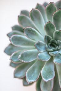 Close-up einer Sukkulente / Dickblatt, Zimmerpflanze,  Dekoration