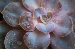 Close-up of a succulent plant / thick leaf, houseplant, decoration