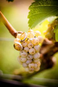 Detailaufnahme, Eheringe und Verlobungsring an Weinrebe / Trauben