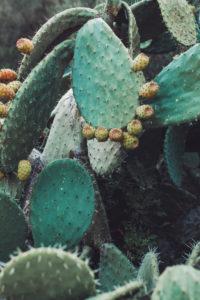 Nahaufnahme von Kaktus auf Sardinien