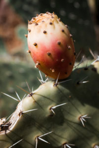 Cactus in Sardinia with prickly pear