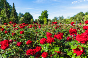 England, London, Regents Park, Queen Mary's Gardens, Roses