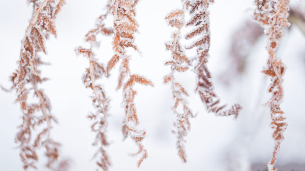 Close up of dry leaves with ice crystals